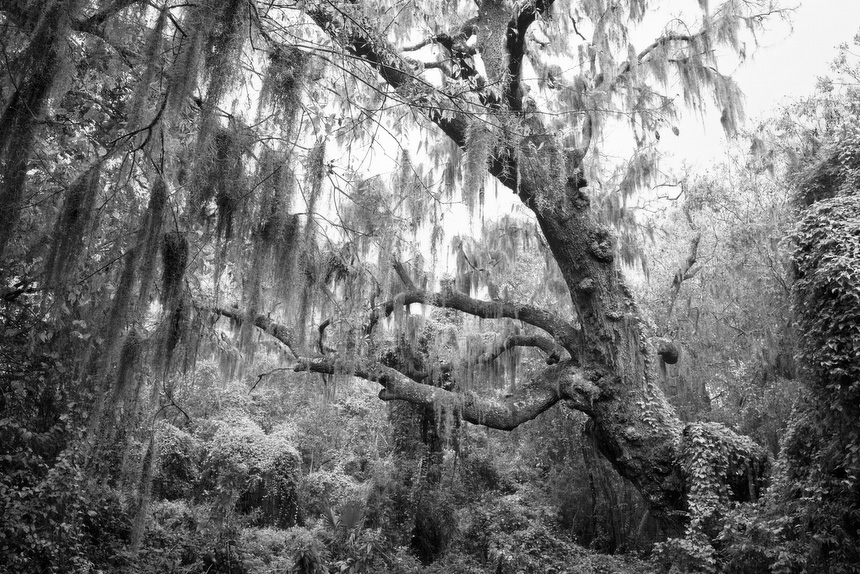 Massacre Island Fine Art Print of Oak Trees and Spanish Moss, Shell Mound Park, Alabama, United States
